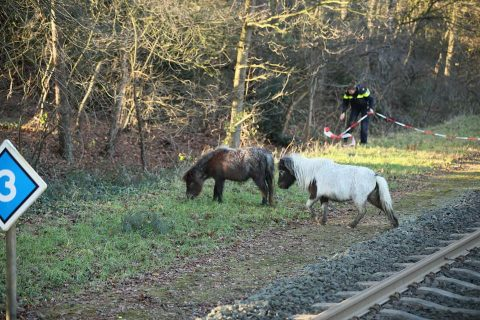 Shetland pony's op het spoor bij Ommen. Foto: Politie Ommen